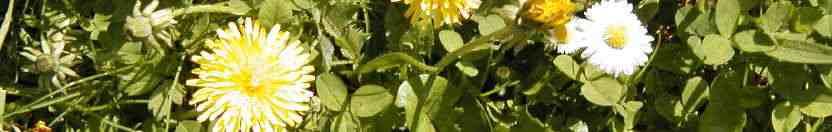 fleur-bandeau-pissenlits-01