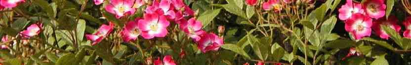 fleur-bandeau-roses-02